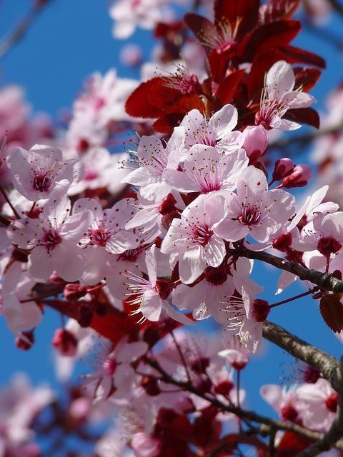 almond-blossom-5376_640.jpg