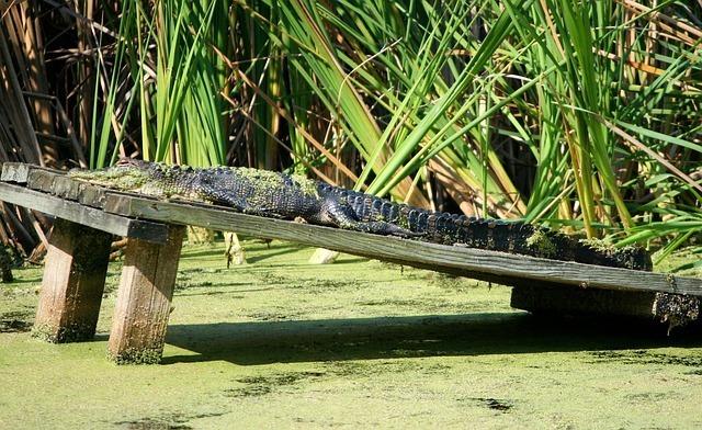 american-alligator-58401_640.jpg