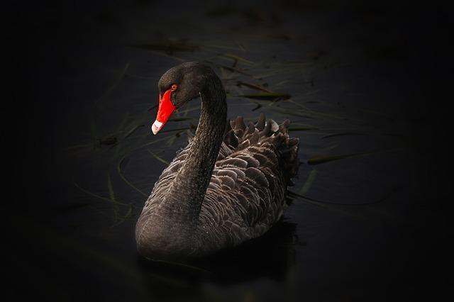 black-swan-122983_640.jpg