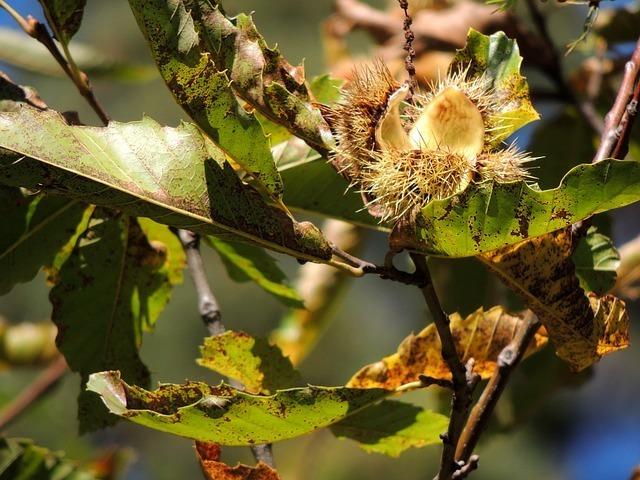 chestnut-63470_640.jpg