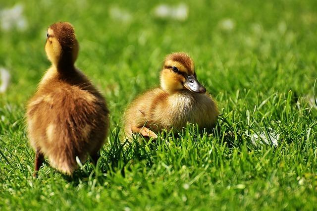 chicks-2426644_640.jpg