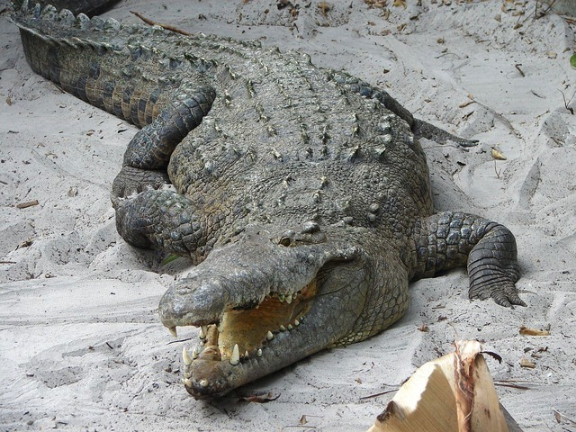 crocodile-2427_640.jpg
