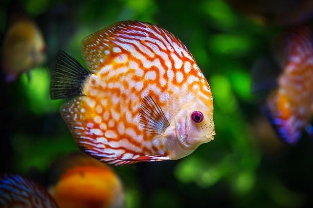 discus-fish-1943755_640.jpg
