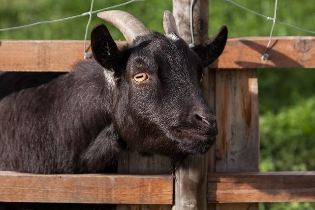 domestic-goat-207309_640.jpg