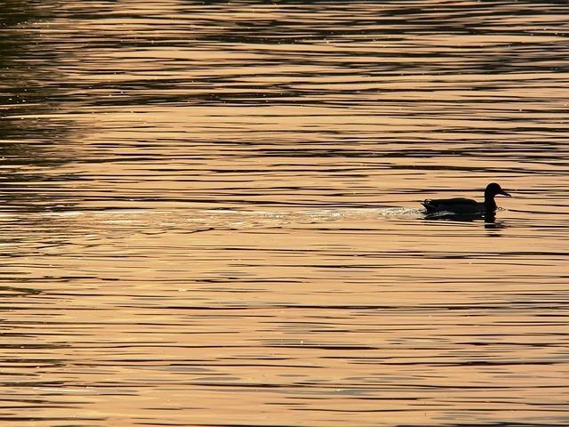 duck-185014_640.jpg