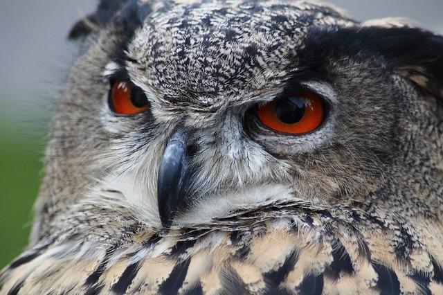 eagle-owl-184567_640.jpg