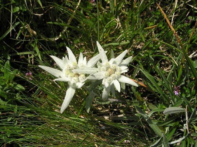 edelweiss-889_640.jpg