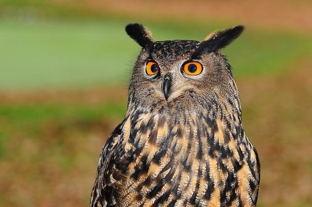 european-eagle-owl-2010346_640.jpg