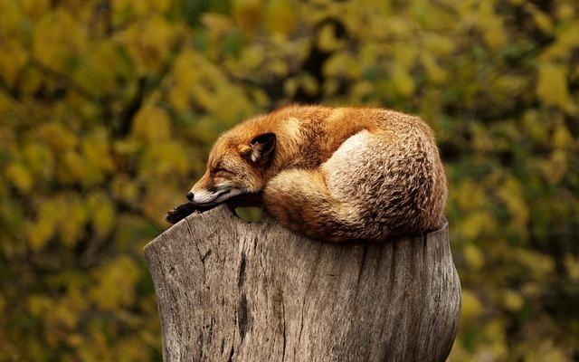 fox-1284512_640.jpg