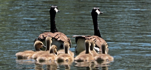 geese-2494952_640.jpg