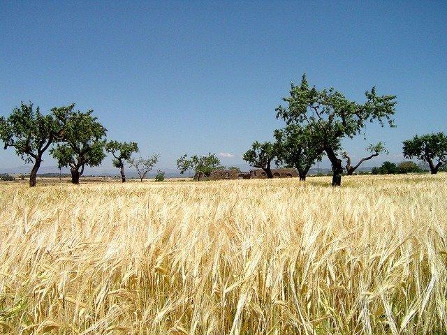 grain-field-2646_640.jpg