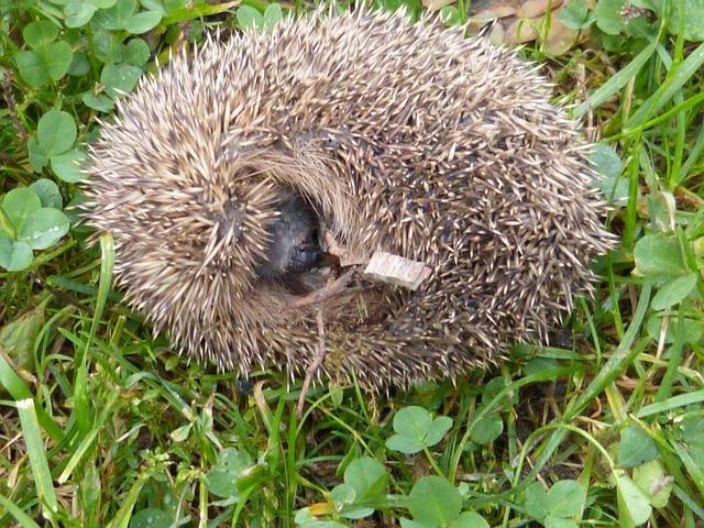hedgehog-57899_640.jpg