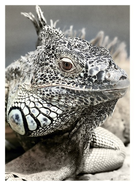 iguana-201942_640.jpg