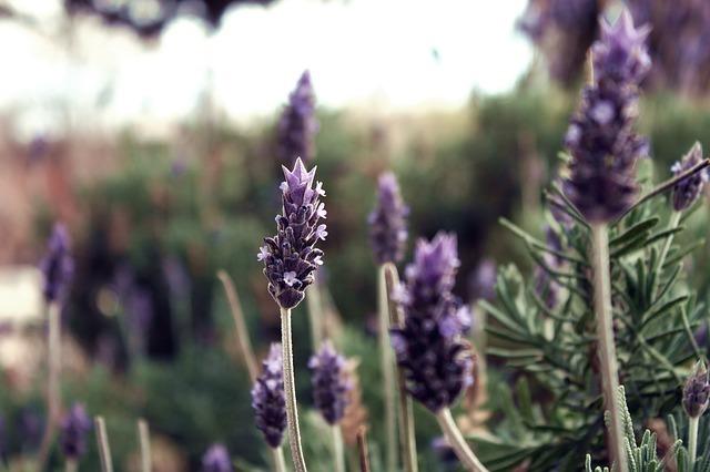 lavender-63575_640.jpg