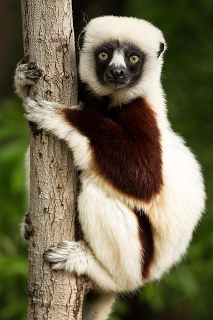 lemur-1794519_640.jpg