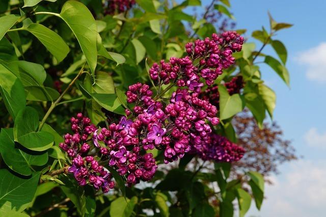 lilac-331172_640.jpg