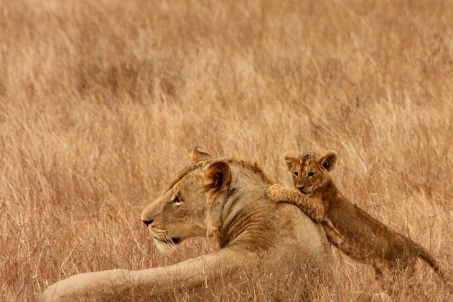 lion-2827_640.jpg