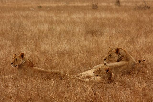 lion-2840_640.jpg