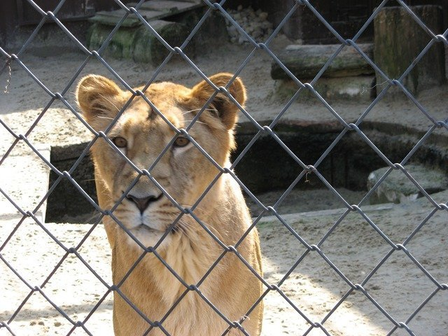 lioness-3208_640.jpg