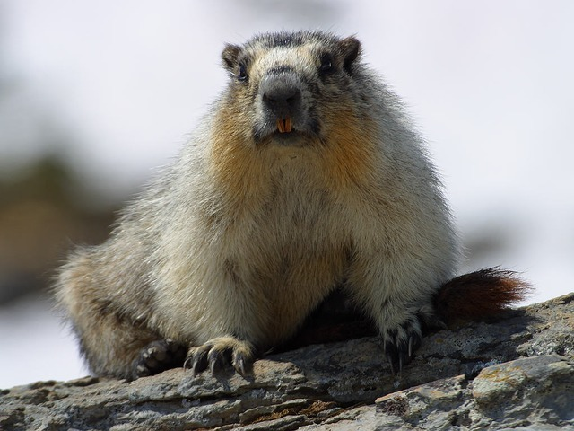 marmot-3249_640.jpg