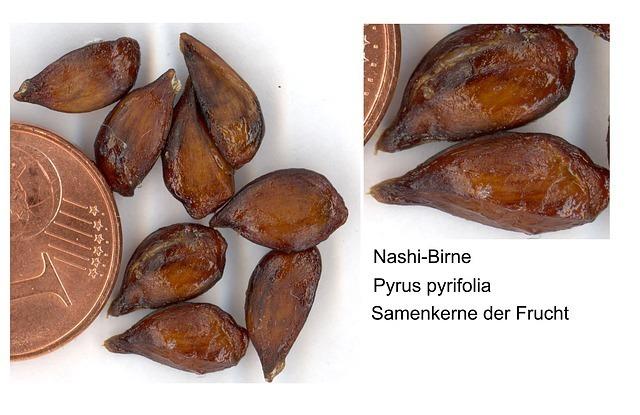 nashi-pear-4630_640.jpg