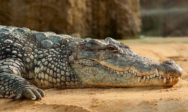 nile-crocodile-245013_640.jpg