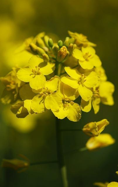 oilseed-rape-55250_640.jpg