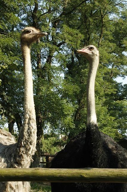 ostrich-55296_640.jpg