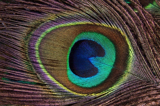 peacock-feather-186339_640.jpg