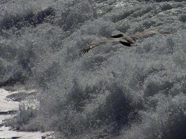pelican-3216_640.jpg