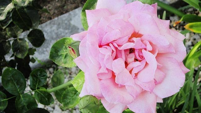 pink-56523_640.jpg