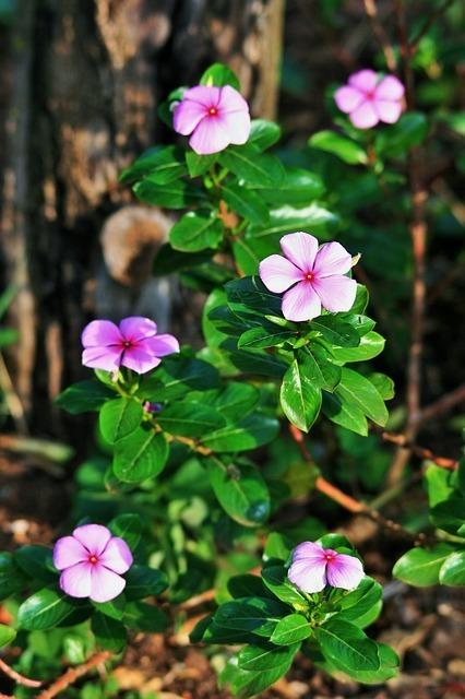 pink-periwinkle-287959_640.jpg