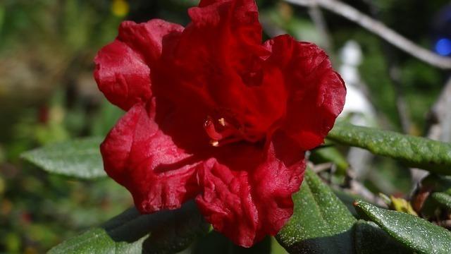 rhododendron-43470_640.jpg