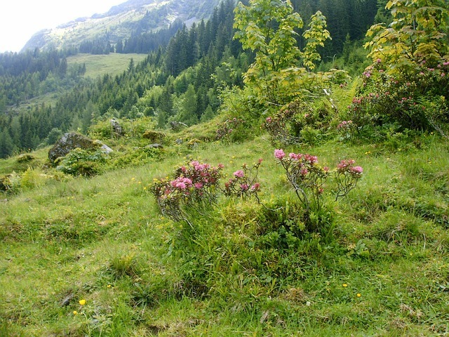rhododendron-flowers-49275_640.jpg