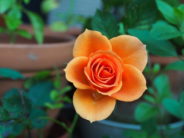 rose-115646_640.jpg