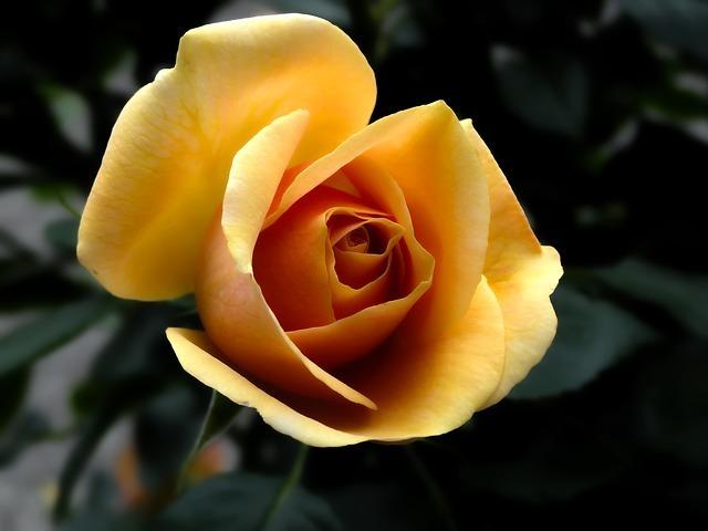 rose-141314_640.jpg