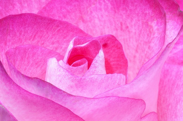 rose-212353_640.jpg