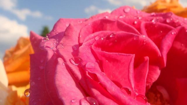 rose-2232_640.jpg