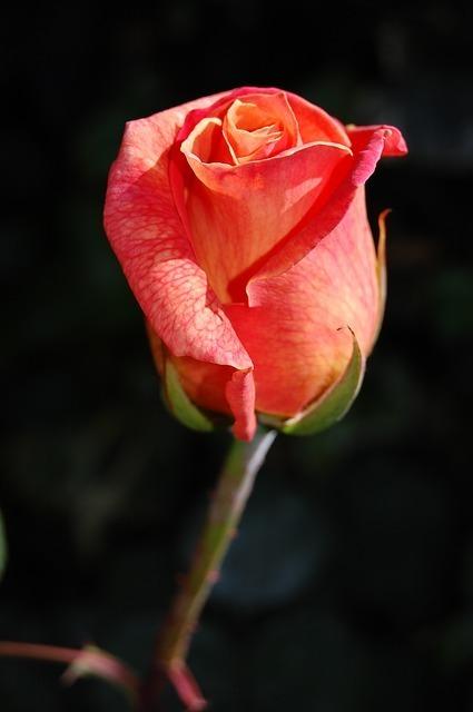 rose-263234_640.jpg