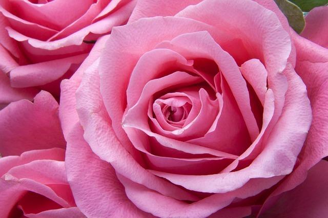 roses-194117_640.jpg