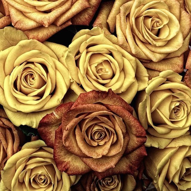 roses-66527_640.jpg