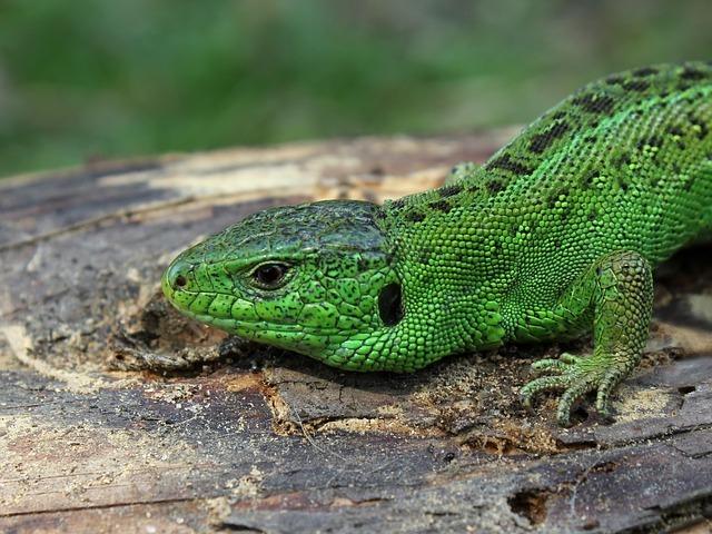 sand-lizard-63185_640.jpg