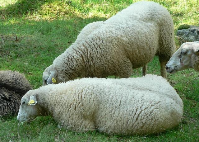 sheep-3247_640.jpg
