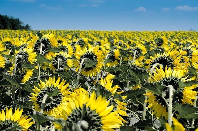 sunflower-175821_640.jpg