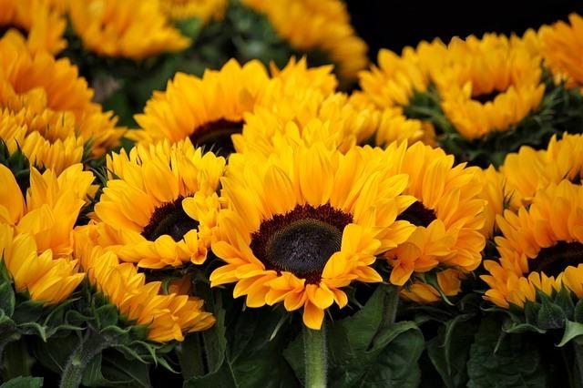 sunflower-378270_640.jpg