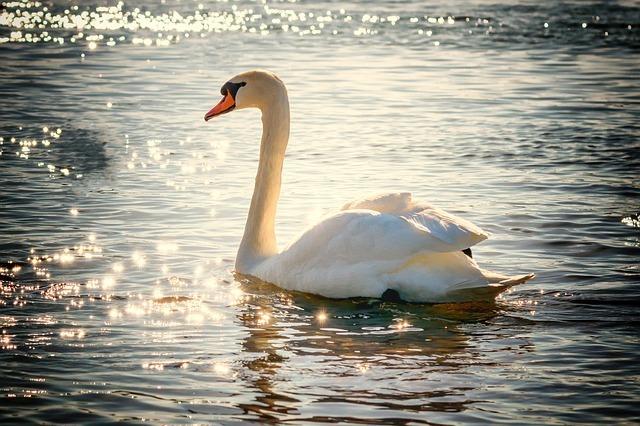 swan-2077219_640.jpg