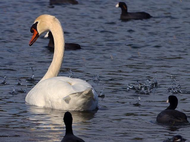 swan-3245_640.jpg