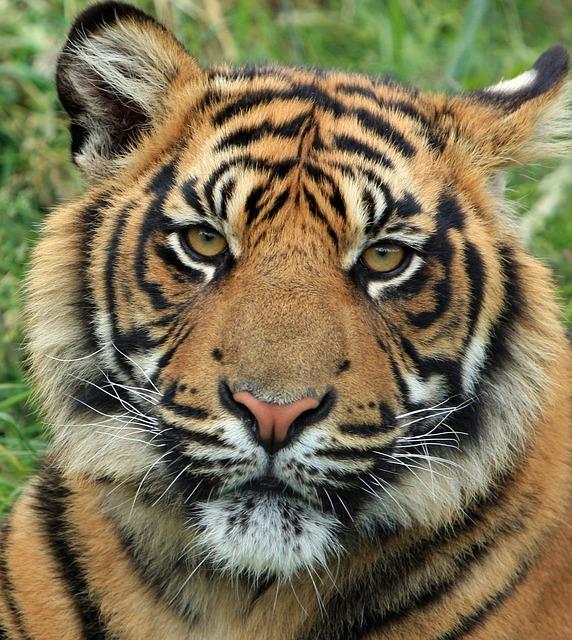 tiger-165189_640.jpg