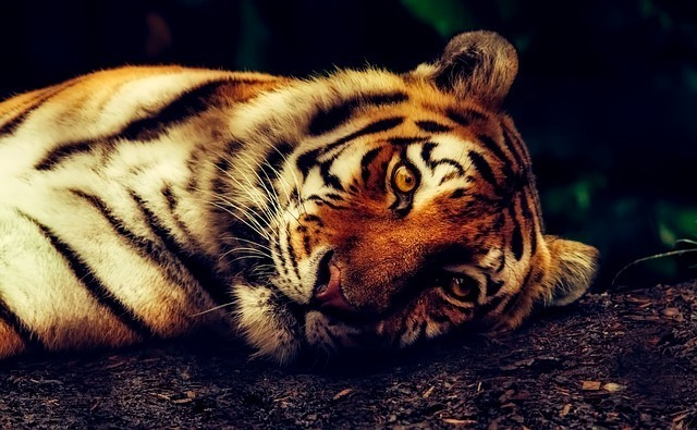 tiger-2530158_640.jpg
