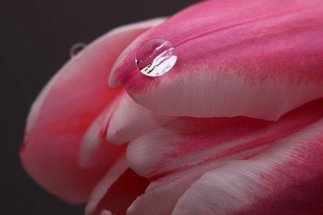 tulip-2080_640.jpg